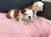 English Bulldog Puppies for Any Pet Lover