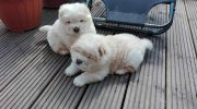 Chow Chow Cream Puppies Available