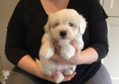 Coton De Tulear Puppies Ready Now Adoption