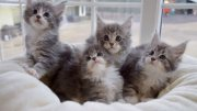 Amazing Main Coon Kitten Available